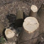 Nielegalna wycinka drzew na Kraśnickiej