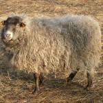 Strzyżenie owiec na Targówku