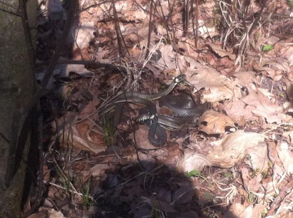 Węże w Lasku Bródnowskim - zdjęcie czytelnika targowek.info