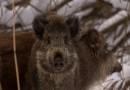 Dziki z Targówka będą odstraszane… ludzkim potem