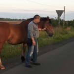 Koń galopował między samochodami